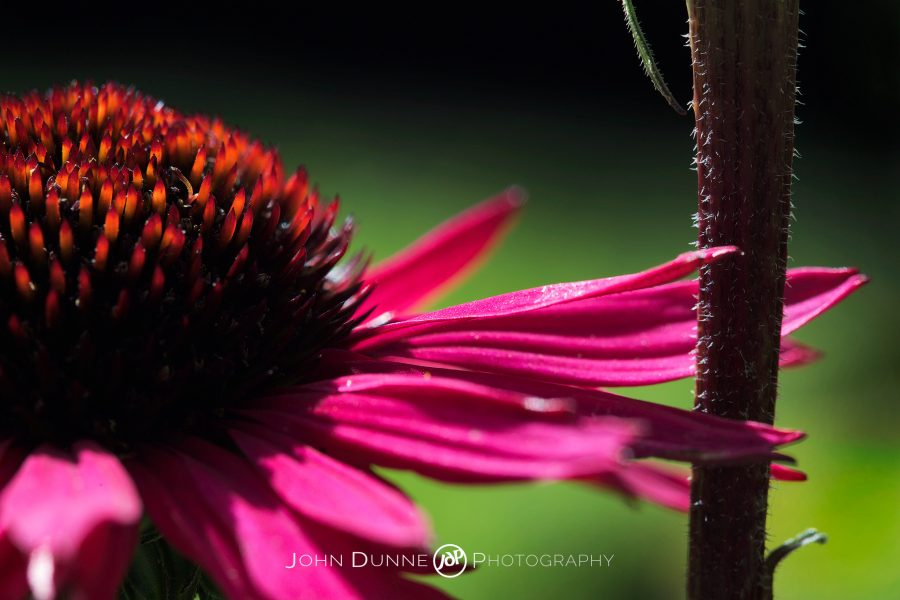A Flowering Echinacea by John Dunne.
