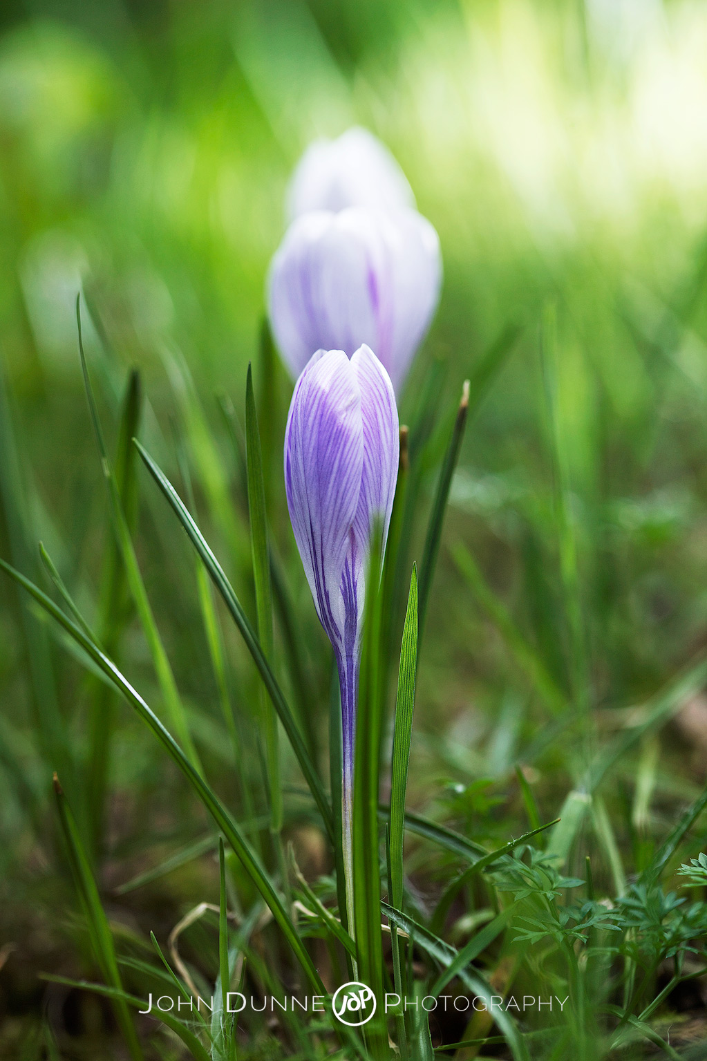 A Line of Crocuses by John Dunne.