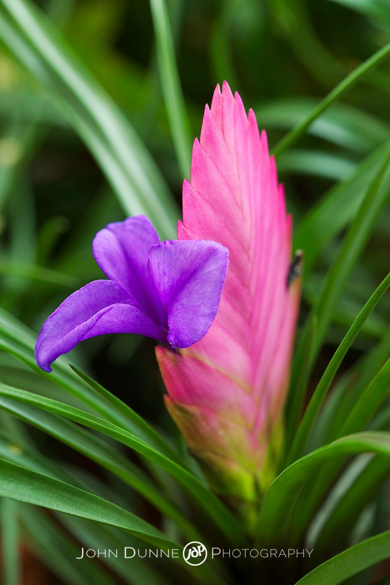 A Pink Quill by John Dunne.
