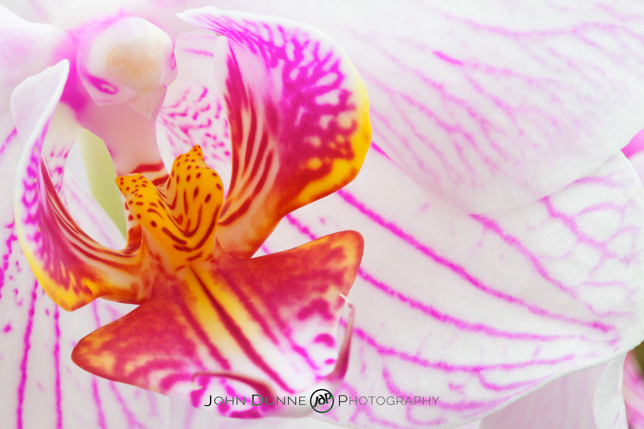 Blossoming Orchid by John Dunne 2009.