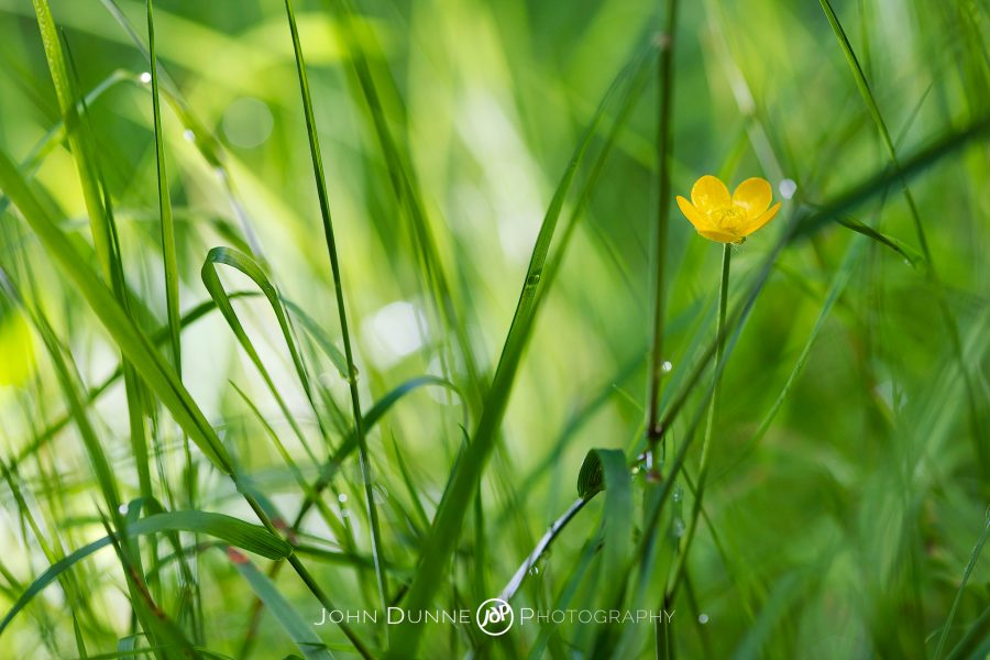 Buttercup in the Grass by John Dunne.
