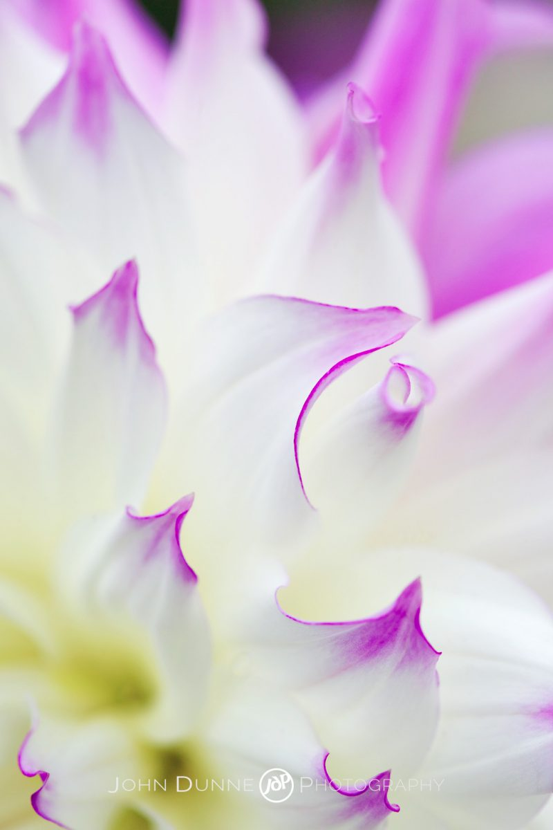 Lavender Tips by John Dunne.