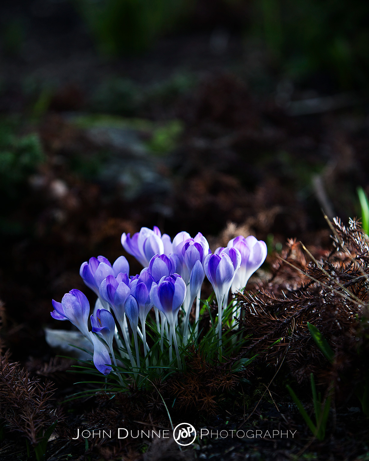 Purple Crocuses on the Forest Floor by John Dunne.
